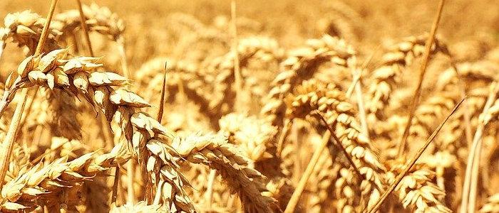 Пошлину на экспорт пшеницы могут ужесточить с июня